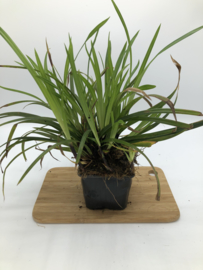 Carex morrowii 'Irish Green' - Zegge