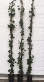 Hedera hibernica gestokt 150-175 cm.