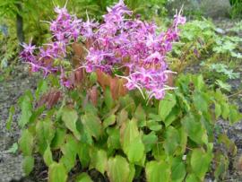 Epimedium grandiflorum