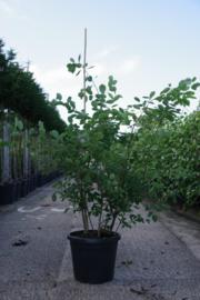 Amelanchier lamarckii - Krentenboompje meerstammig 150-200 cm.