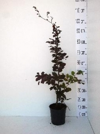 Beuk bladbehoudend rood (Fagus sylvatica 'Atrop') in pot