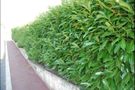 Prunus laur. 'Caucasica' (Laurierkers)