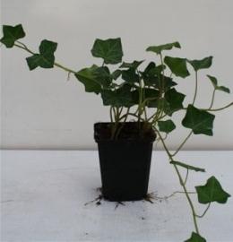 Hedera hibernica 30-40 cm. klimop