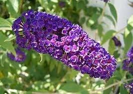 Buddleja dav. 'Black Knight' kleur paarse vlinderstruik