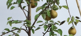 Leivorm half-+stam fruitboom appel, peer, pruim of kers