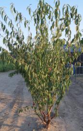 Sierkers (Prunus serrula)