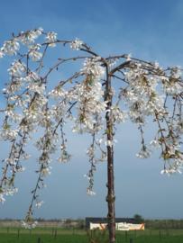 Witte treurkers (Prunus yedoensis ivensii)