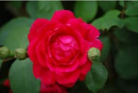Rosa Paul's Scarlet - Klimroos