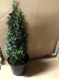 Buxus sempervirens piramide 40 cm.