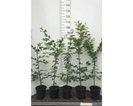 Carpinus betulus BLADVERLIEZEND beuk in pot haagbeuk