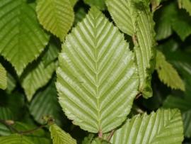 Haagbeuk bladverliezend Carpinus betulus