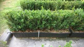 Buxus sempervirens kant en klaar haag
