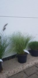 Carex comas 'Frosed Curls'
