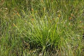 Carex flava 'Gele zegge'