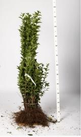 Ligustrum ovalifolium (groenblijvend liguster)