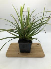 Carex - Zegge