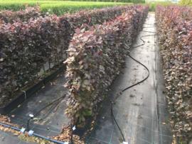 Fagus sylvatica 'Atrop' kant en klaar haag breedte 1 mtr.