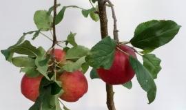 Struikvorm fruitboom appel, peer, kers of pruim