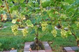 Druif in pot Vitis Vroege van der Laan witte druif