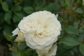 Rosa Dittrich Woessner stamroos stamhoogte 80-90 cm.
