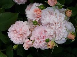 Rosa de Tolbiac - Klimroos