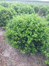 Ilex crenata Green Hedge - Buxus vervanger bolvorm