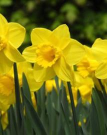 Narcissen Carlton kleur geel prachtig sterk soort