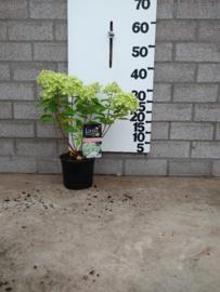Hydrangea pan  'Little Lime' Mini Pluimhortensia