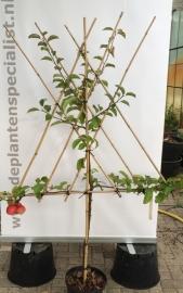 Leivorm struik fruitboom appel, peer, pruim of kers