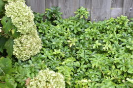 Pachysandra term. 'Green Carpet'