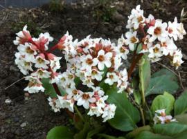 Bergenia - Schoenlappersplant