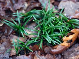 Ophiopogon jap. 'Minor'