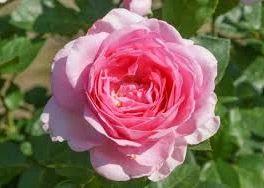 Rosa Ghitta Renaissance roze theeroos