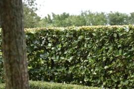 Beuk bladbehoudend groene beukenhaag (Fagus sylvatica) 40-60 cm.