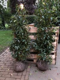 Prunus lusitanica 'Angustifolia' (Portugese laurier)