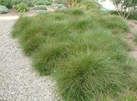 Carex how. 'Phoenix Green' - Zegge