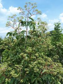Bijenboom (Tetradium daniellii)