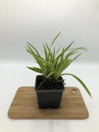 Carex morrowii 'Ice Dance' - Zegge