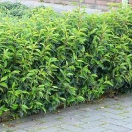 Prunus lusitanica 'Angustifolia' in pot (Portugese laurier)