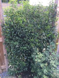 Prunus lusitanica - Portugese laurierkers