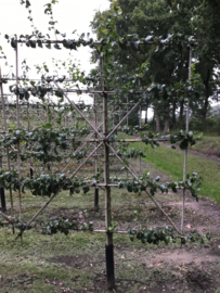 Cydonia oblonga 'Leskovacz' Leivorm zwaar met kluit 5 etages