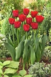 Tulpen Ille de France kleur rood.