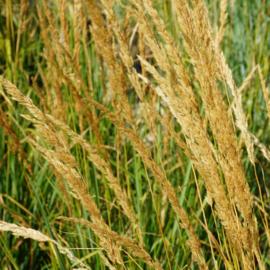 Calamagrostis acut. 'Karl Foerster' - Struisriet