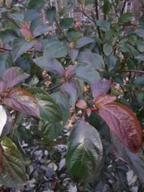Cornus alternifoloia - meerstammig kornoelje