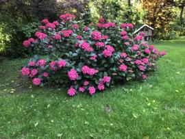 Hydrangea macr. 'Mevr Sanguine' donkerrood blad en roze bloemen