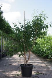 Heptacodium miconioides - Zevenzonenboom struikvorm 150-200 cm.