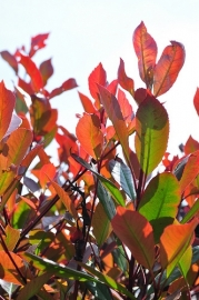 Photinia fras. 'Red Robin' Glansmispel