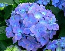 Hydrangea 'Early Blue' paars/blauwe bol
