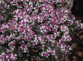 Aster l. 'Lady in Black'