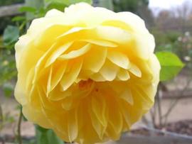 Rosa Diamond Jubilee gele theeroos